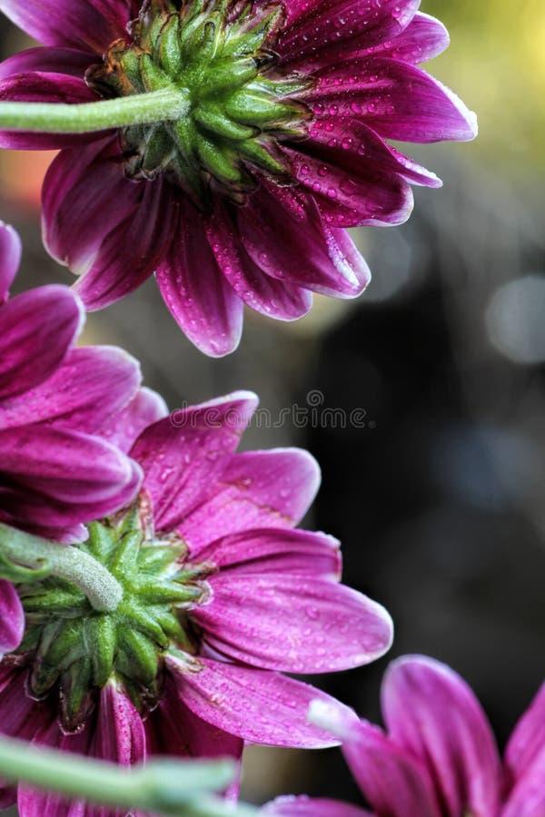 Purpurrote Gänseblümchen der Traube, die das Licht fangen stockbilder