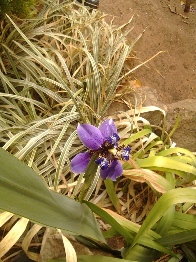 Purpurrote Gartenorchidee stockfotografie