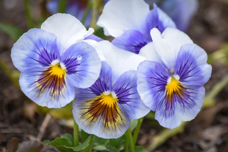 Purpurrote, gelbe und weiße Pansy Flowers in der Blüte lizenzfreie stockfotografie