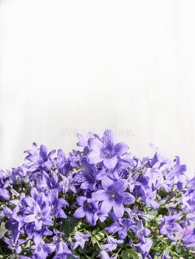 Purpurrote Glockenglockenblume blüht auf weißem hölzernem Hintergrund stockbild