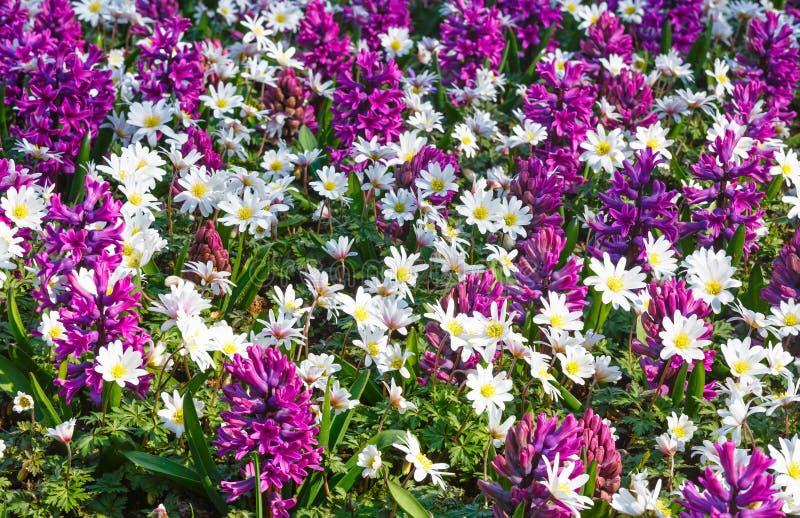 Purpurrote Hyazinthen Des Frühlinges Und Weiße Blumen (Nahaufnahme ...