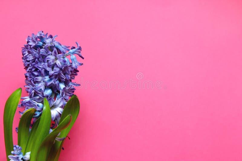 Purpurrote Hyazinthenblüte mit grünen Blättern auf rosa Hintergrund mit Kopienraum lizenzfreies stockfoto