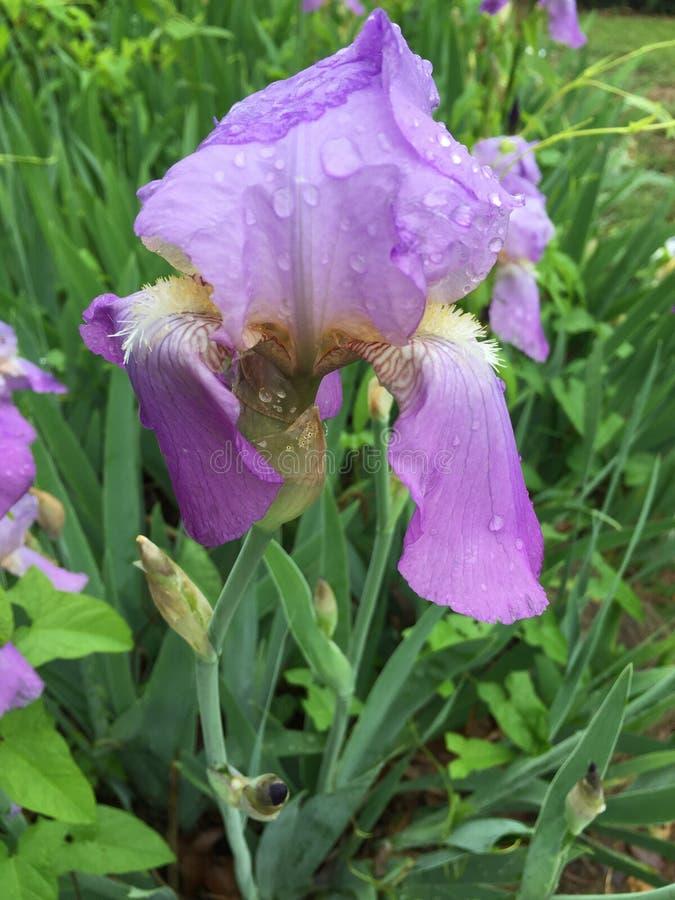 Purpurrote Iris stockbild