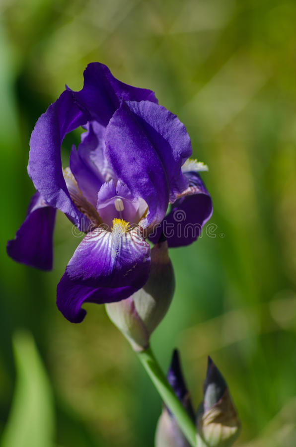Purpurrote Iris lizenzfreie stockfotos