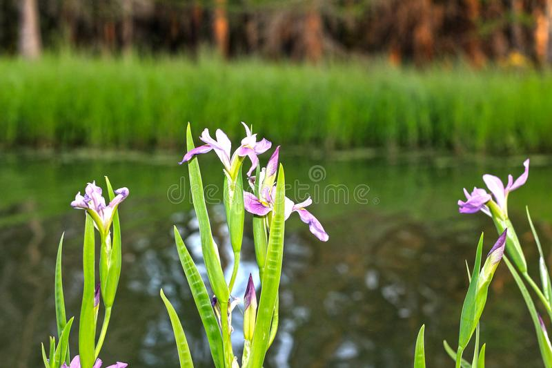 Purpurrote Iris Flower im See Martin Louisiana Swamp stockfotos
