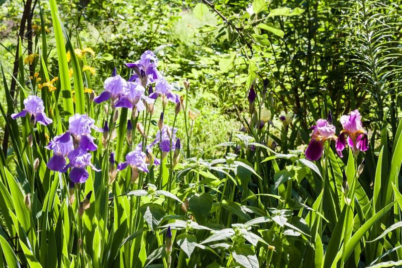 Purpurrote Irisblumen auf grünem Gartenhintergrund lizenzfreie stockbilder