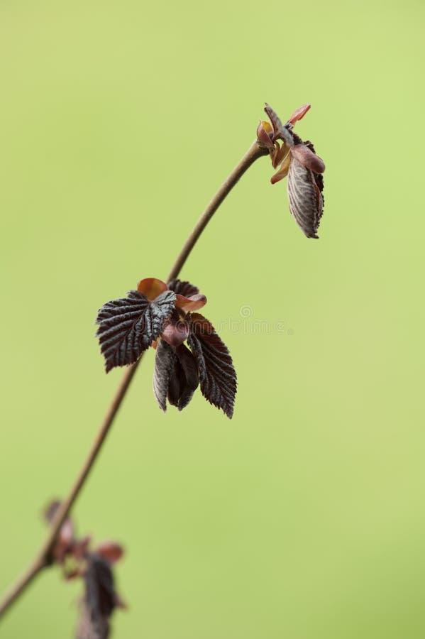 Purpurrote junge Blätter der Haselnuss Makrocorylusmaxima Purpurea stockbild