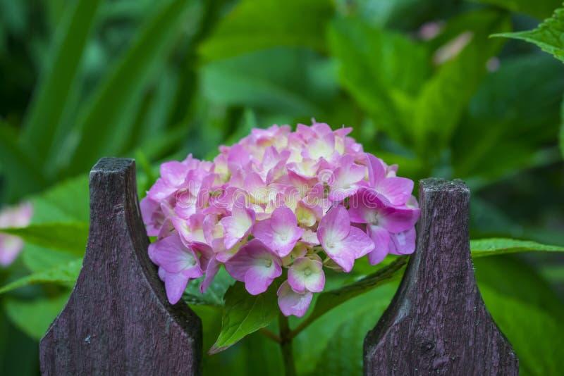 Purpurrote Köpfe von Hortensieblumen stockbild