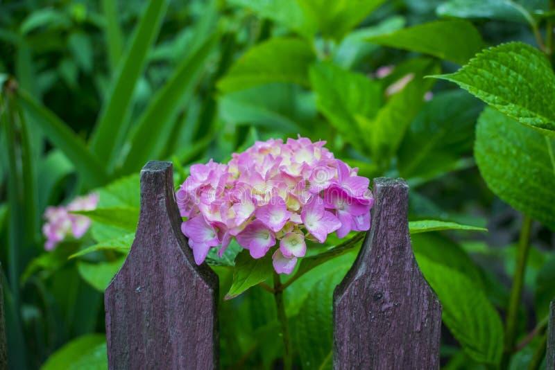 Purpurrote Köpfe von Hortensieblumen lizenzfreies stockbild