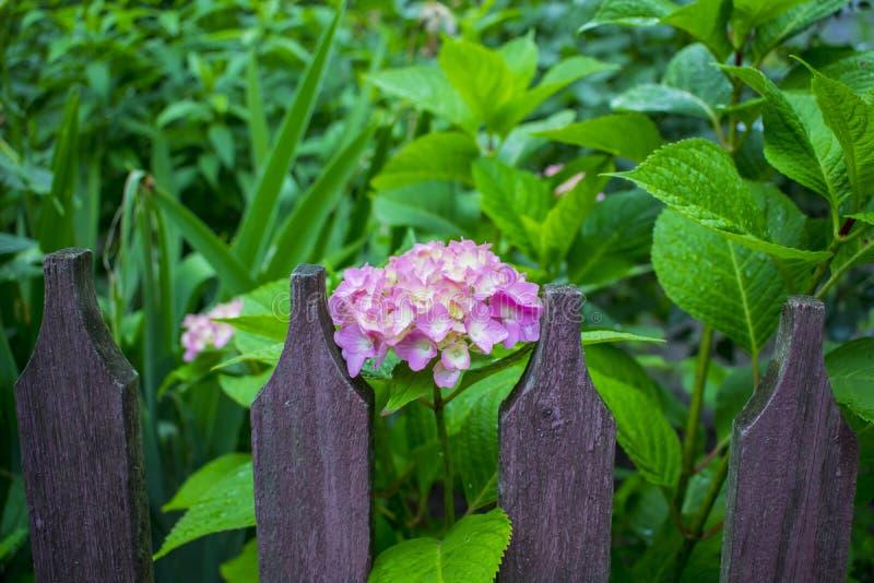 Purpurrote Köpfe von Hortensieblumen stockfotos