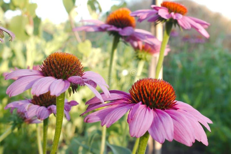 Purpurrote Kegel-Blume lizenzfreie stockbilder