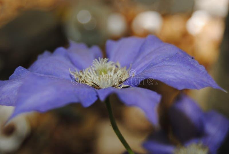 Purpurrote Klematis-Blume lizenzfreie stockbilder