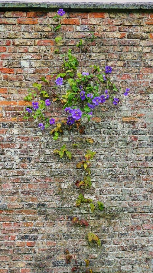 Purpurrote Klematis, die alter abgenutzter Backsteinmauer im englischen Garten anhaften lizenzfreie stockfotografie