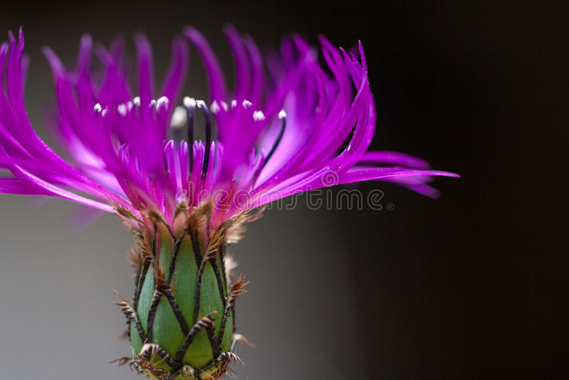 Purpurrote Kornblume in der Blüte lizenzfreie stockfotos