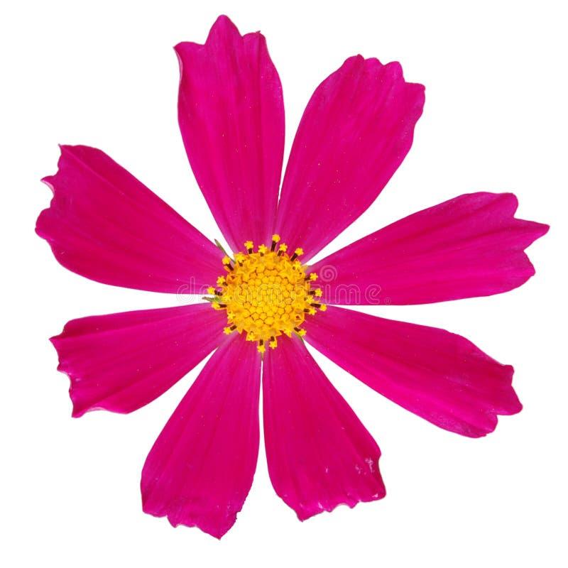Purpurrote kosmeya Blume stockbilder