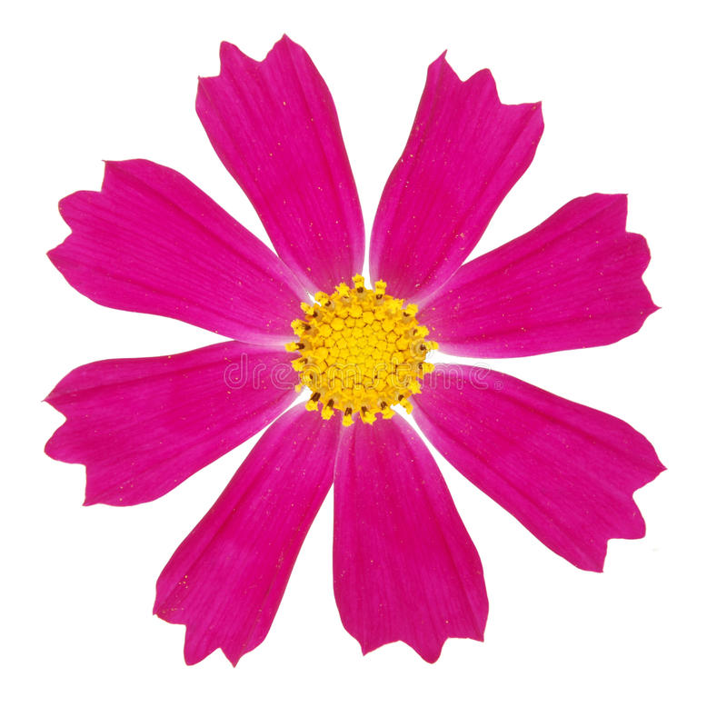 Purpurrote kosmeya Blume lizenzfreie stockbilder