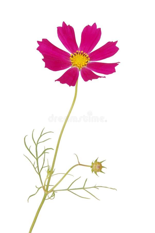 Purpurrote kosmeya Blume lizenzfreie stockfotos