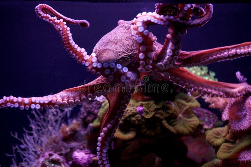 Purpurrote Krake, die unter Wasser schwimmt lizenzfreies stockfoto