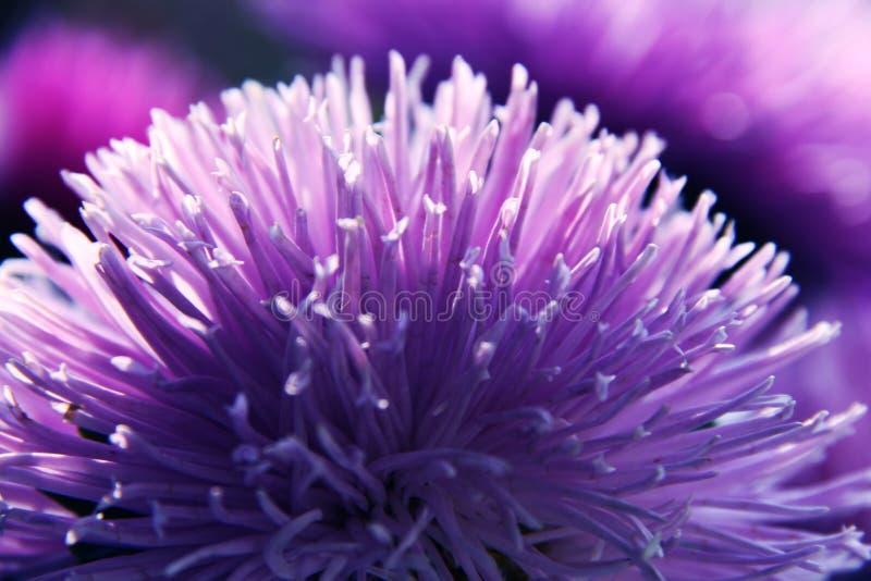 Purpurrote kugelförmige Blume lizenzfreie stockfotos
