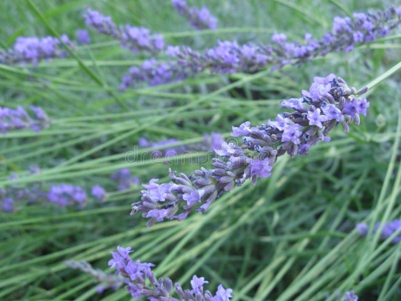 Purpurrote Lavandulablumen, Kraut für Schönheit und Gesundheit, lavander stockbilder