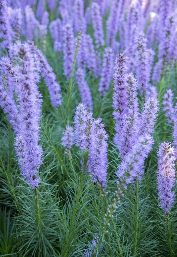 Purpurrote Liatris spicata Blumen stockfotografie