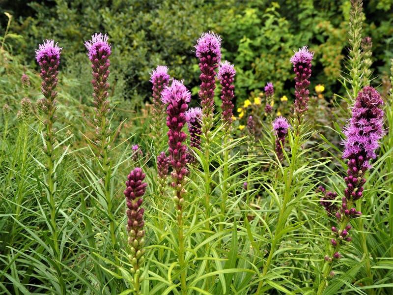 Purpurrote Liatris spicata gayfeather Blumen lizenzfreies stockbild