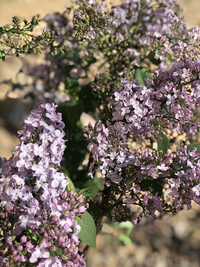 Purpurrote lila Blume in der Blüte in der Wüste lizenzfreies stockfoto
