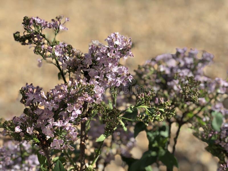 Purpurrote lila Blume in der Blüte in der Wüste lizenzfreies stockbild