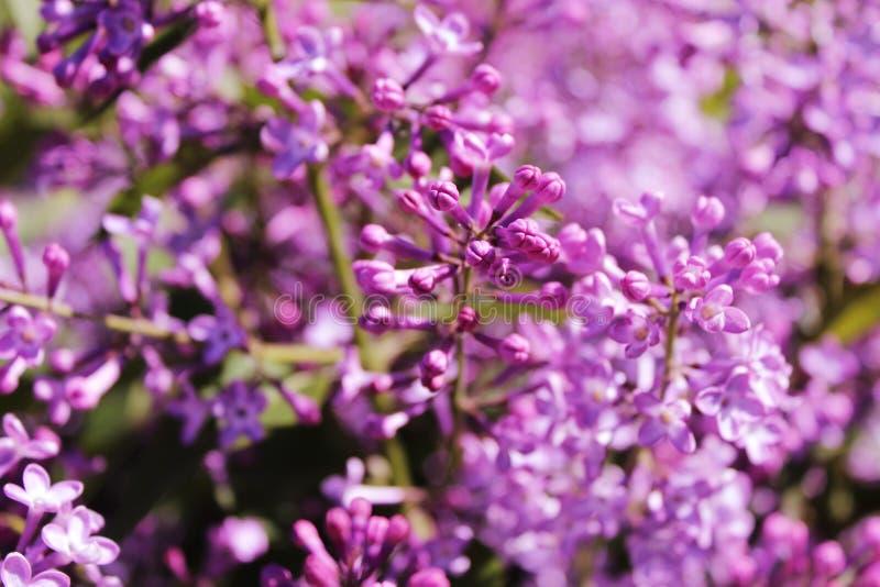 Purpurrote lila Blumen, die draußen an einem sonnigen Tag blühen stockfotografie