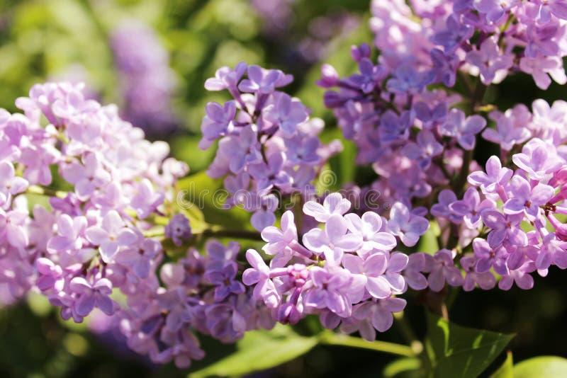 Purpurrote lila Blumen, die draußen an einem sonnigen Tag blühen stockbilder