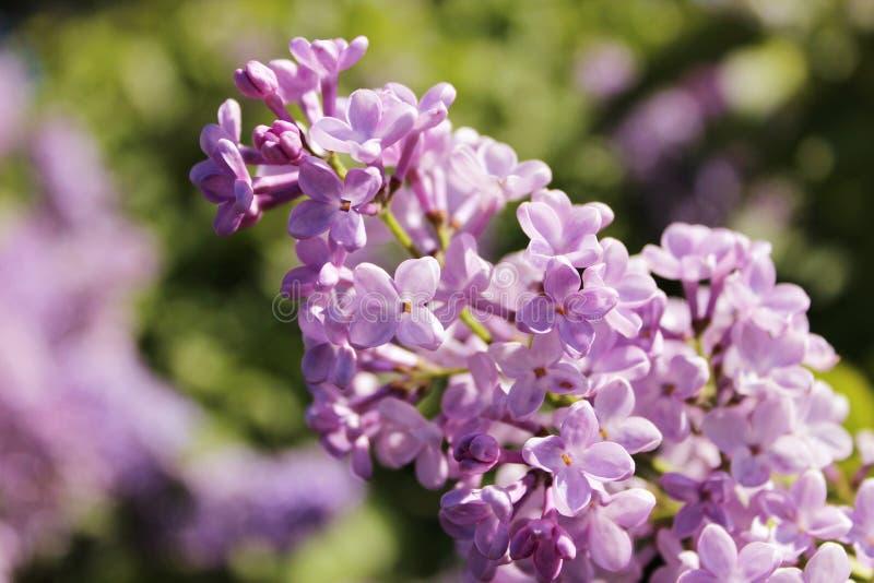 Purpurrote lila Blumen, die draußen an einem sonnigen Tag blühen lizenzfreies stockbild