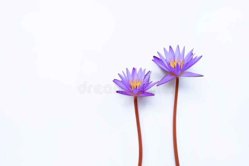 Purpurrote Lotosblume, die auf Wei? bl?ht stockbild