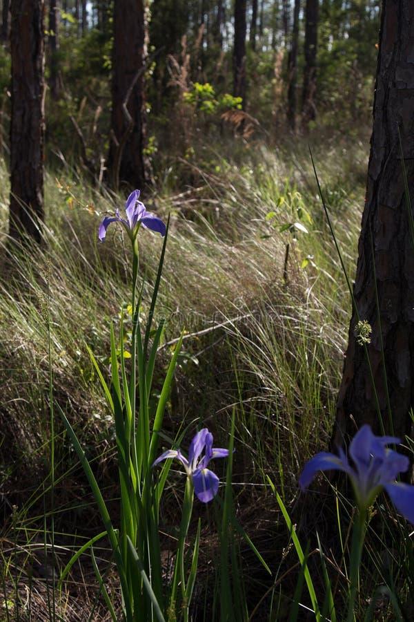 Purpurrote Louisiana-Iris in einem grasartigen Wald mit weichem Licht lizenzfreie stockbilder
