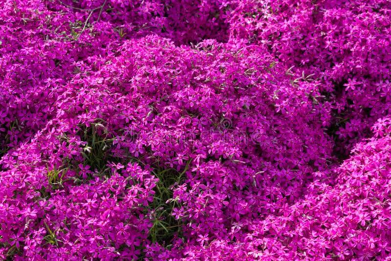 Download Purpurrote Moosflammenblume Auf Einer Wiese Stockfoto - Bild von flora, beständig: 90234970