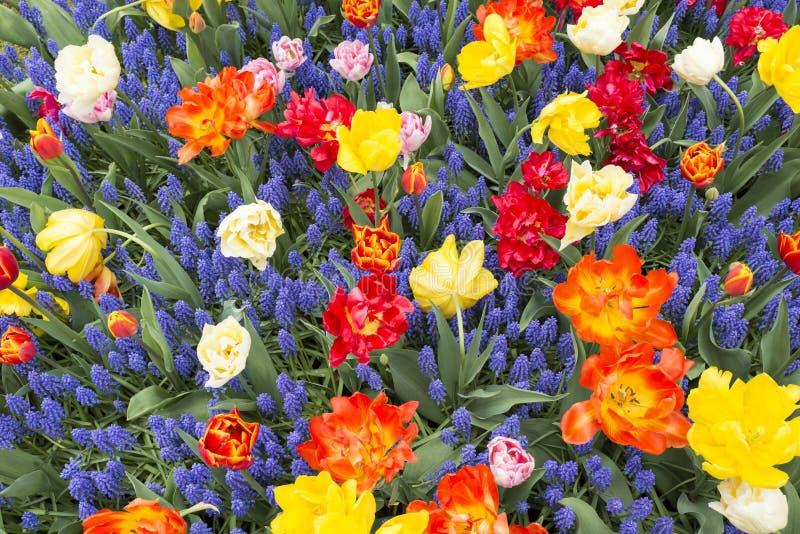Purpurrote Muscari botryoides und rote Tulpen stockbilder