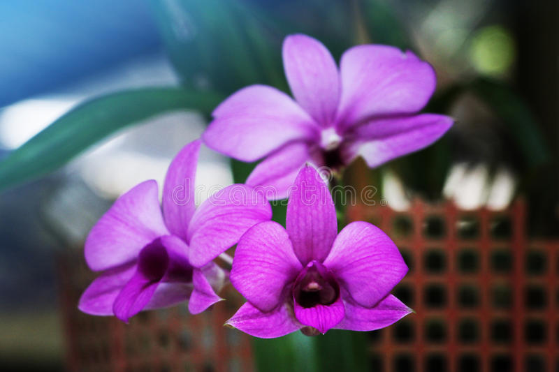 Purpurrote Orchidee stockfotos
