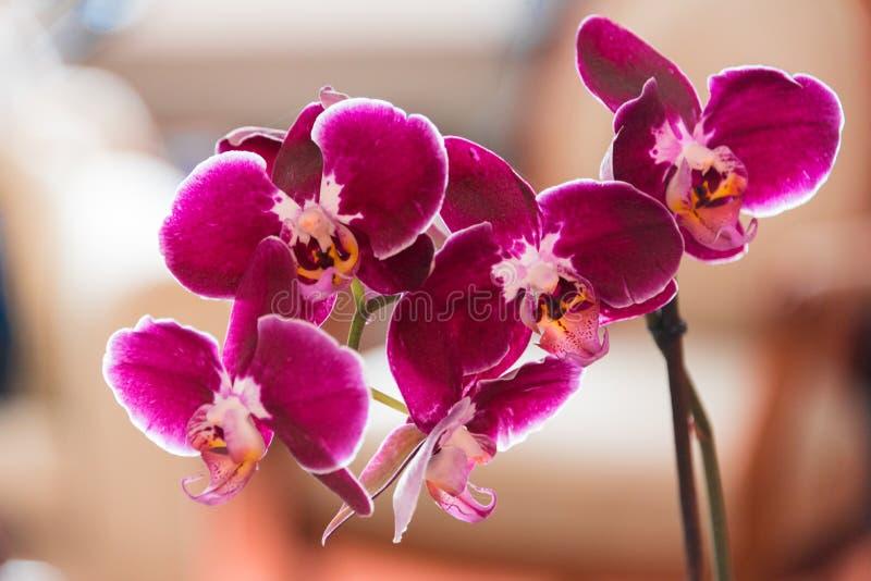 Purpurrote Orchidee-Blume lizenzfreie stockfotografie