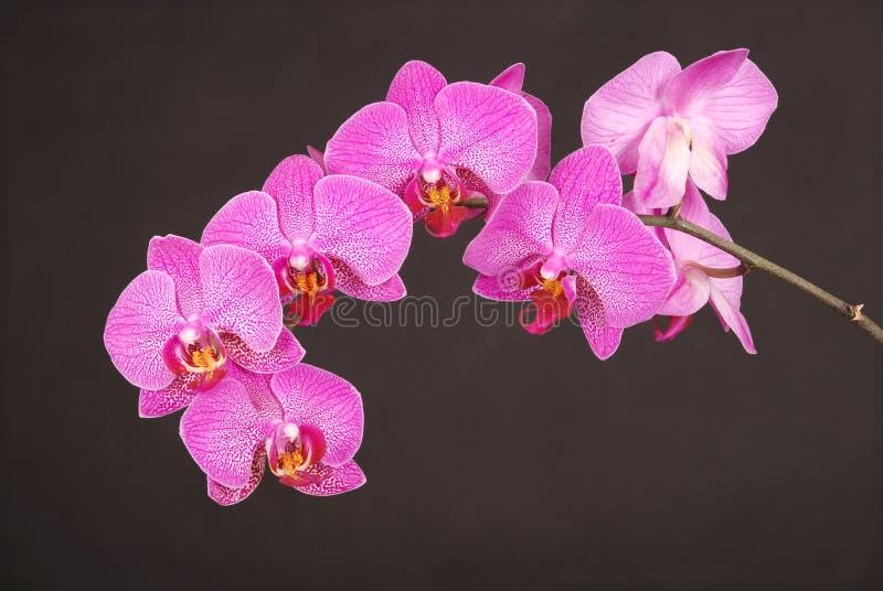 Purpurrote Orchidee-Blume stockfotografie