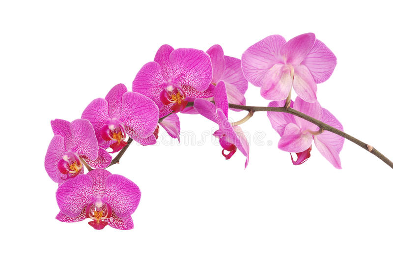 Purpurrote Orchidee-Blume lizenzfreies stockbild