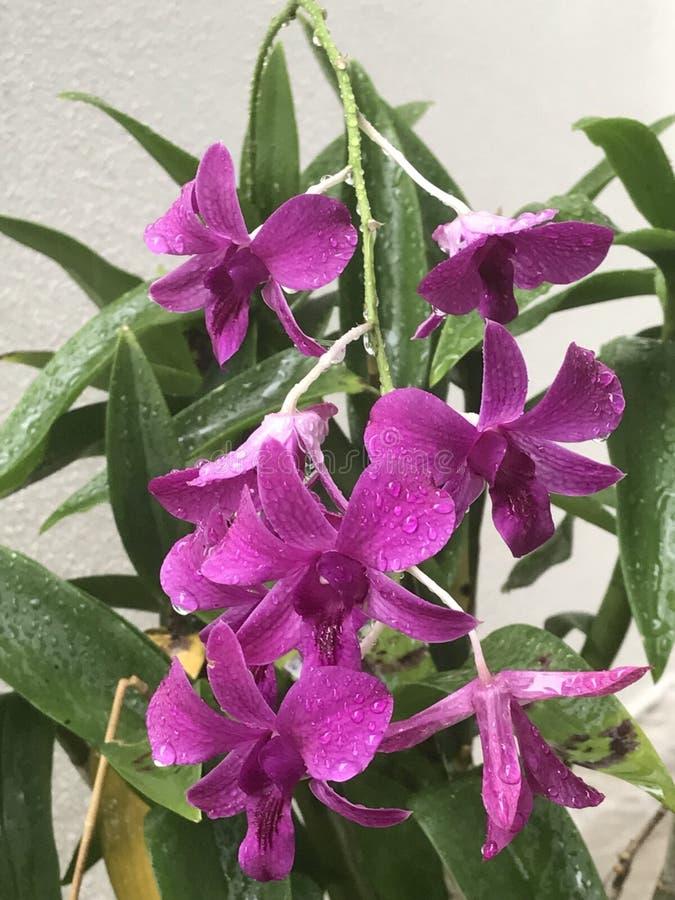 Purpurrote Orchideen stockfotos