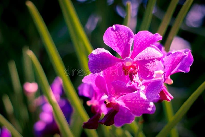 Purpurrote Orchideen lizenzfreie stockbilder