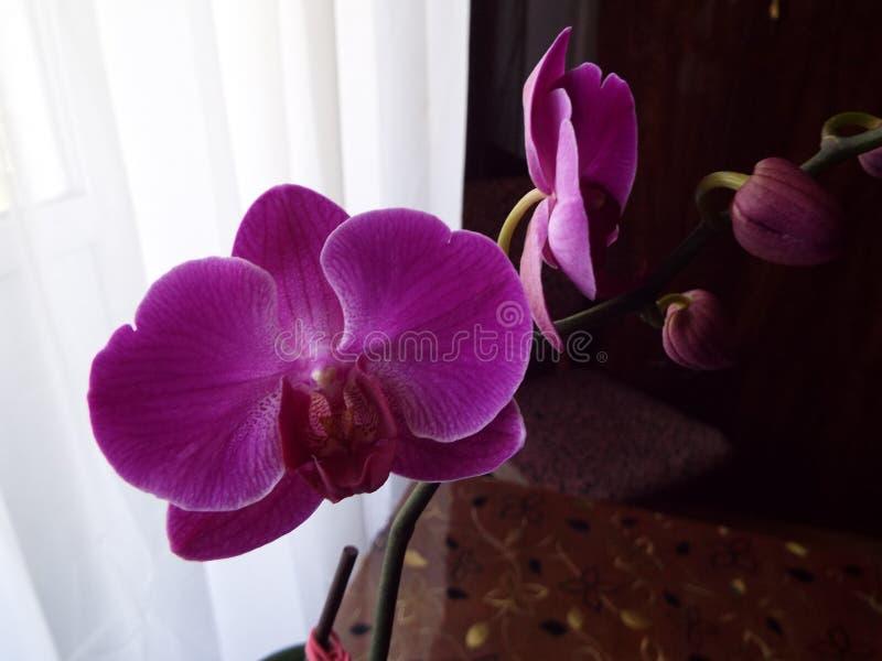 Purpurrote Orchideenblume bei einer gegen einen weißen Tulle-Hintergrund lizenzfreies stockbild