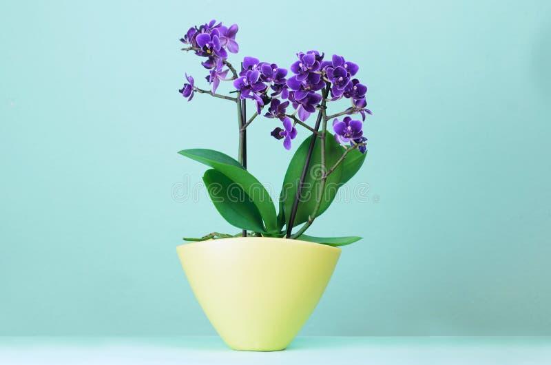 Purpurrote Orchideenblume in den gelben Töpfen auf einem hellblauen Hintergrund lizenzfreies stockbild