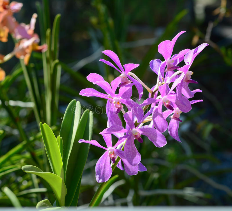 Purpurrote Orchideenblumen am Park stockfotografie
