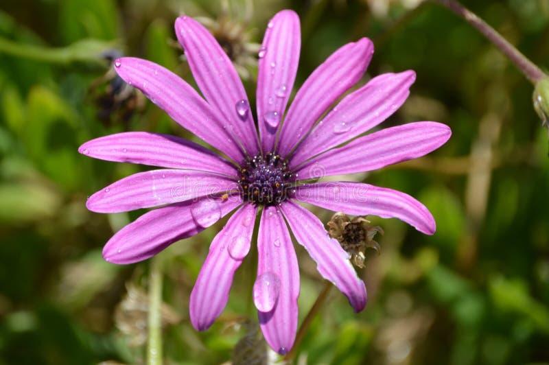 Purpurrote Osteospermum-Blume mit Regentropfen lizenzfreie stockfotos