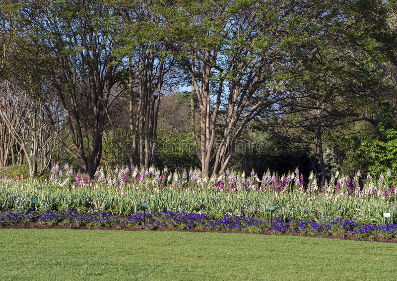 Purpurrote Pansies, rosa Tulpen, Mehrfarbenfingerhut mit Bäumen hinten stockfotografie