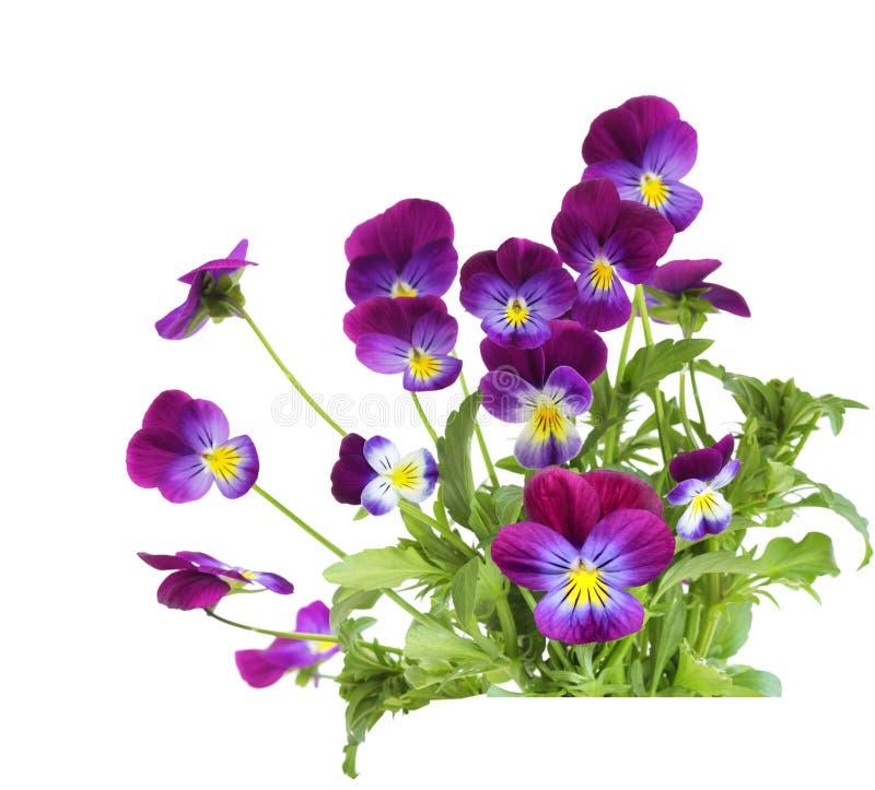 Purpurrote Pansyblumen stockbilder