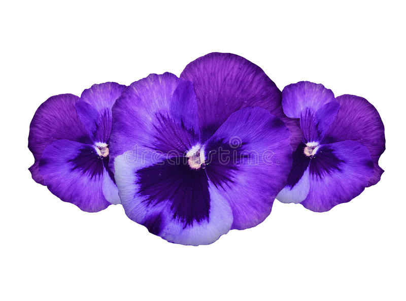 Purpurrote Pansyblumen lizenzfreie stockfotografie