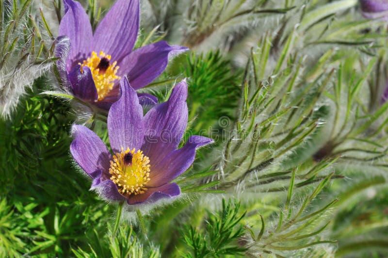 Purpurrote pasque Blumen stockfoto