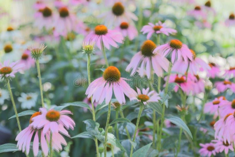 Purpurrote Petaled Blumen-Blüte stockbilder
